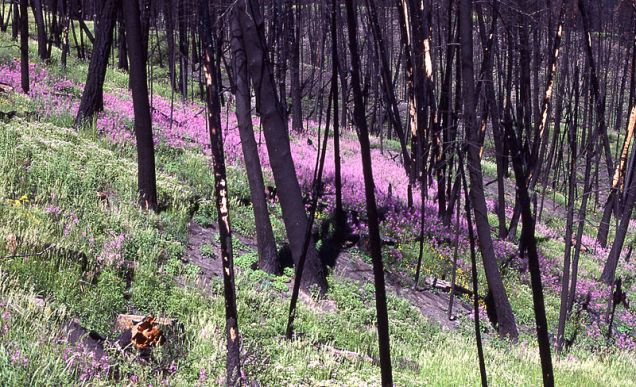 800px-Fireweed_after_fire
