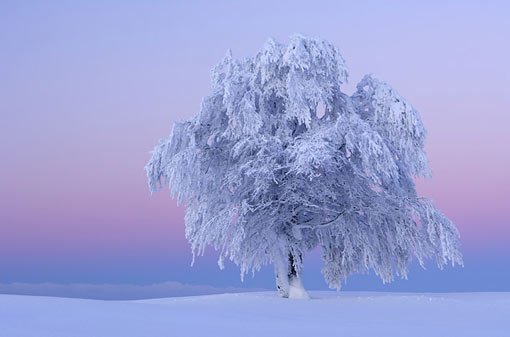 planet-earth_ice_storm_beech_tree
