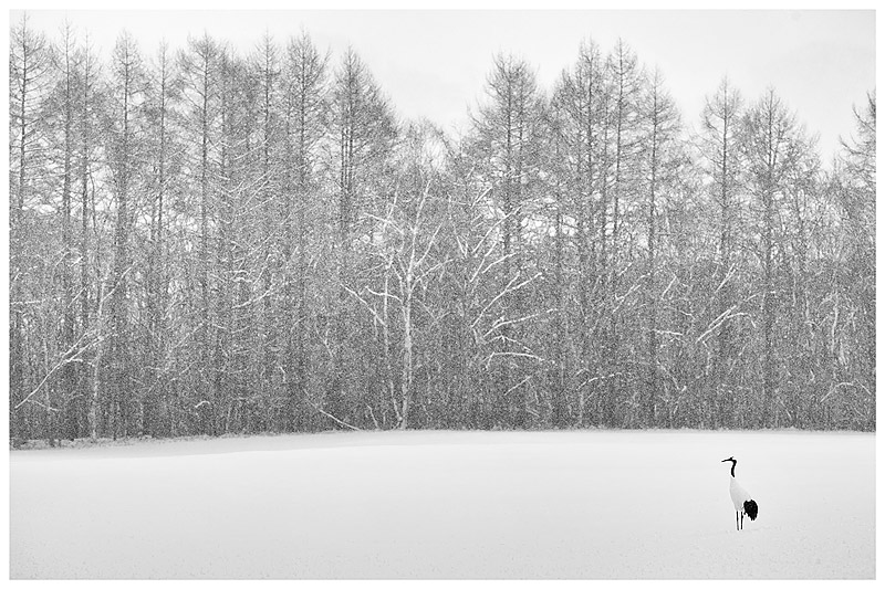 32.-BW-Soliitary-Red-Crowned-Crane-standing-in-conifer-lined-snow-field-as-snow-falls-Hokkaido-Japan