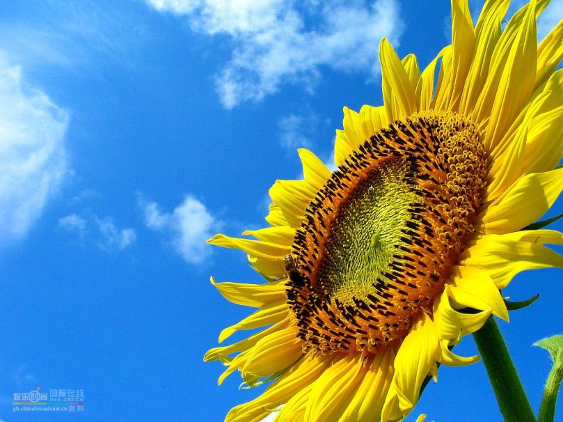 sunflower-facing-sun-wallpaper