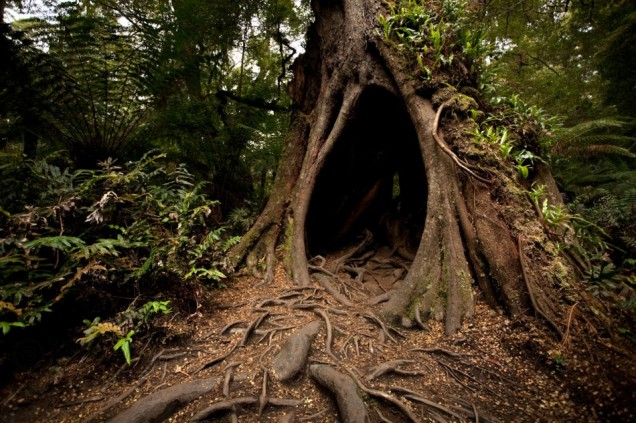 hollow_rainforest_tree_with_ferns_and_roots-950x633