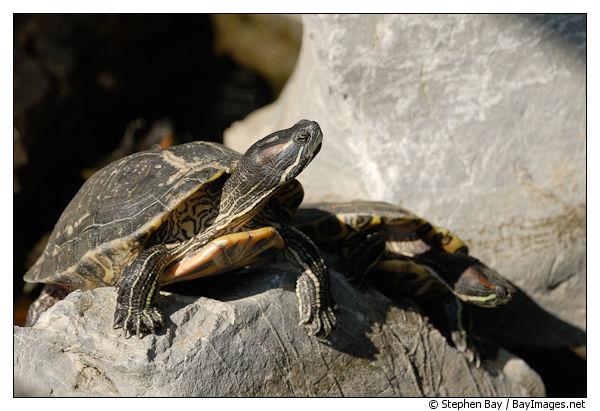 red-eared-turtle-good-wish-garden-15803