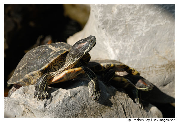 red-eared-turtle-good-wish-garden-15803