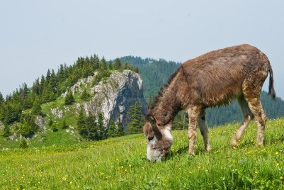 10401137-a-free-donkey-grazing-on-the-mountain