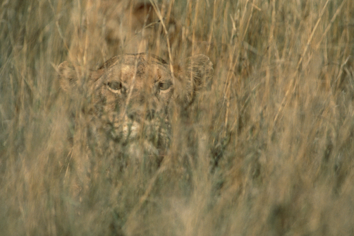 African Lion (Panthera leo) female camouflaged in tall grass, Serengeti National Park, Tanzania