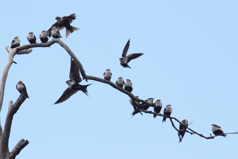 White-backed_Swallows_2