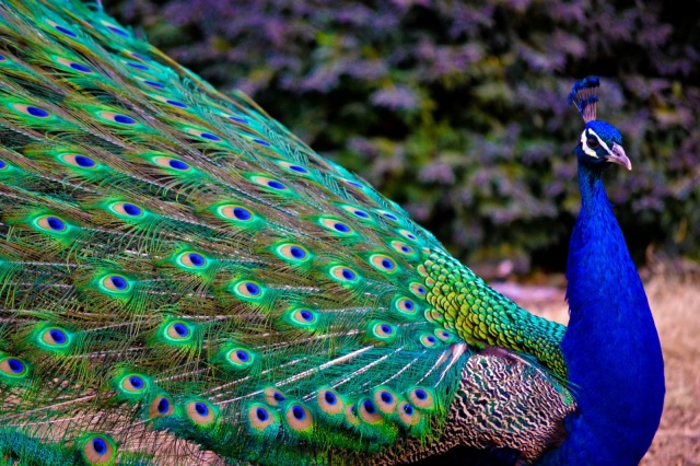 peacock_by_bleeding__roses-d4w4x28