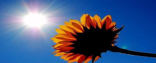 sun_and_sunflower2