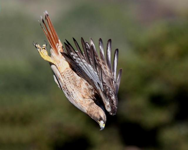 red-tailed-hawk-dive-marcus-armani