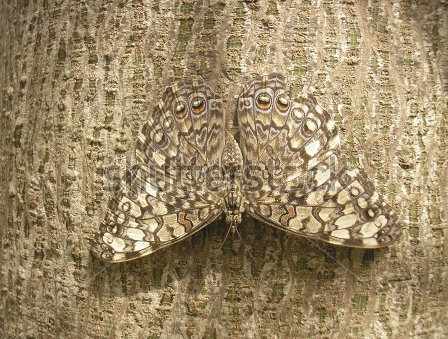 stock-photo-camouflage-of-a-butterfly-on-the-bark-of-a-tree-65300566
